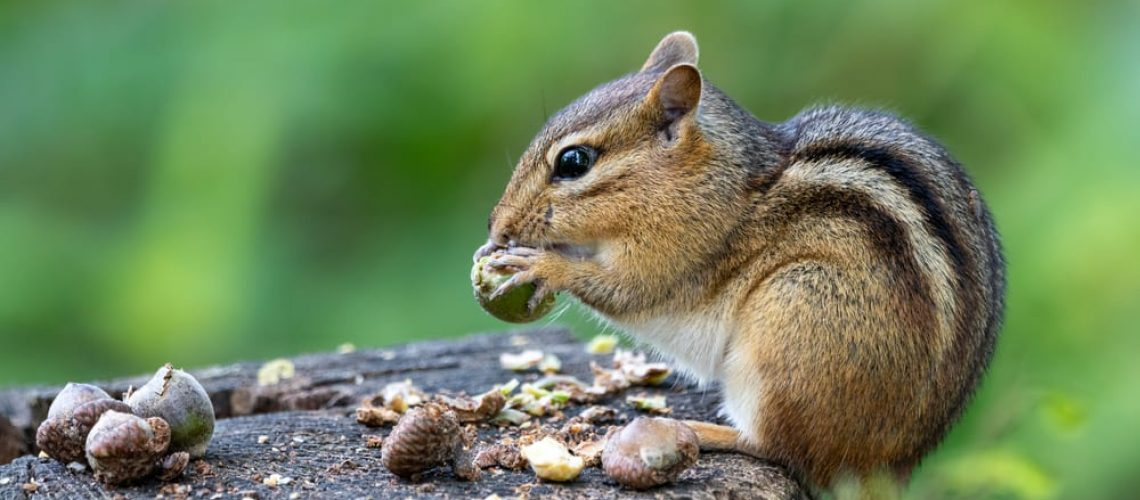 Eastern,Chipmunk,Perched,On,A,Stump,Eating,Acorns,With,Blurry