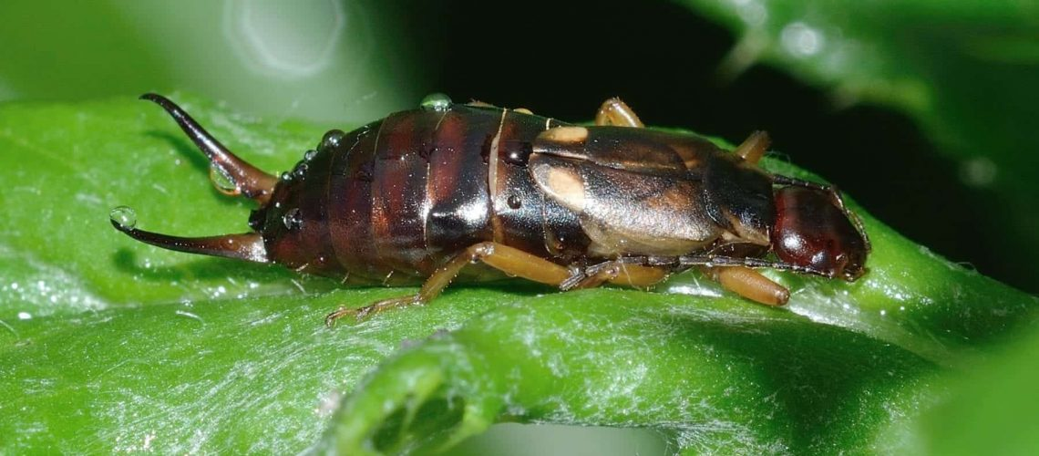 everything-you-need-to-know-about-earwig-control-and-prevention