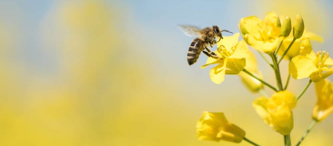 Honey,Bee,Collecting,Pollen,On,Yellow,Rape,Flower,Against,Blue