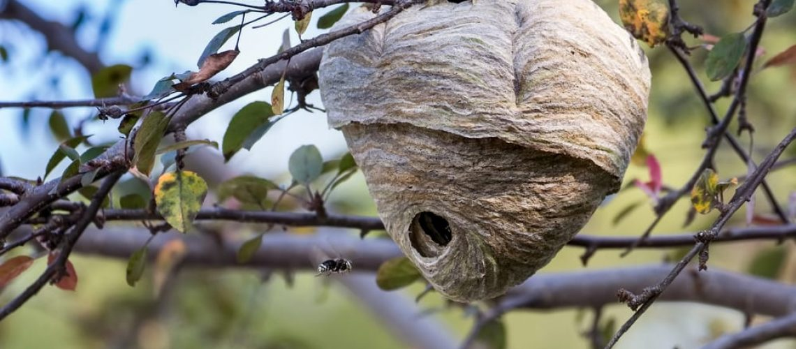 A,Bald-faced,Hornet,Nest,Attached,To,A,Tree,In,Toronto,