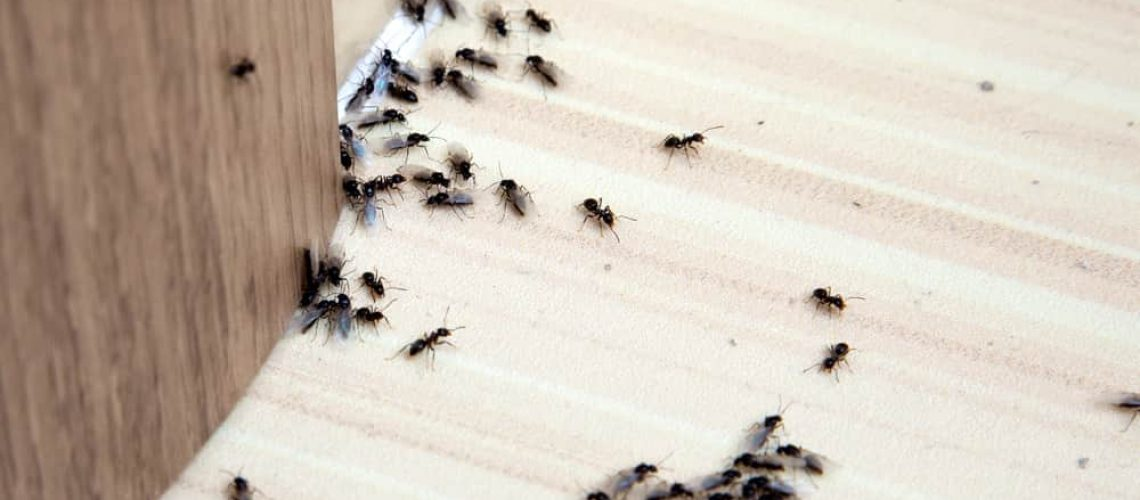 Ants,In,The,House,On,The,Baseboards,And,Wall,Angle