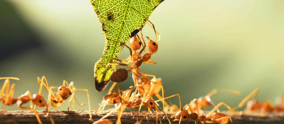close up teamwork red ant standing with green leaf