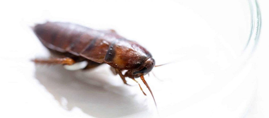 Close-up cockroach for study finding parasites in laboratory.