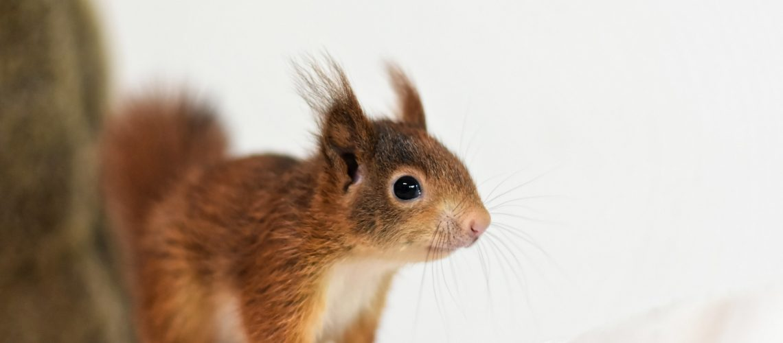 How To Get Rid Of Squirrels In The Attic Synergy