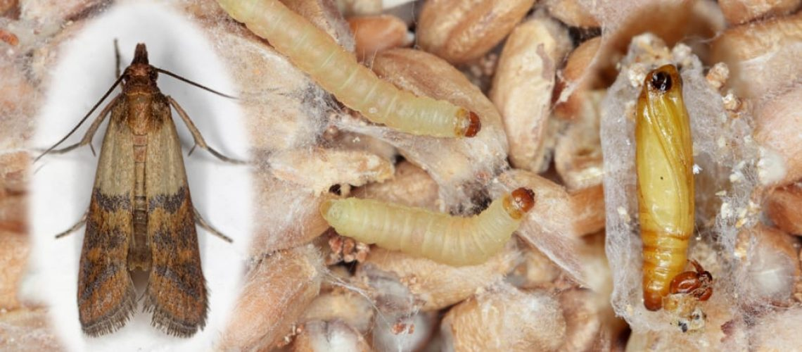 Pupae,Larvae,And,Adult,Insect,Of,Indian,Mealmoth,Plodia,Interpunctella