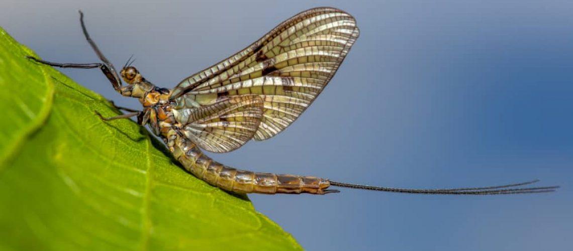 A,Mayfly,Sitting,On,A,Leaf