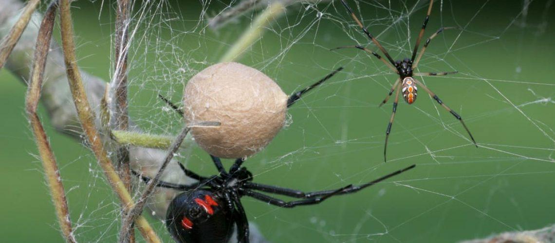 Black,Widow,Spider,-female,,Male,And,Egg,Sac