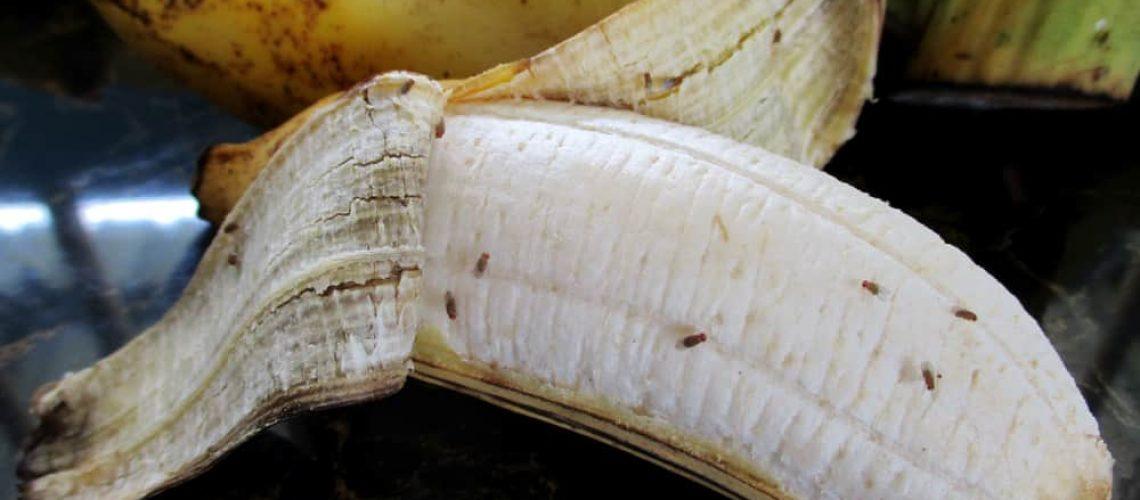 Drosophila,On,Ripe,Banana,In,The,Kitchen,Are,It,Contagion