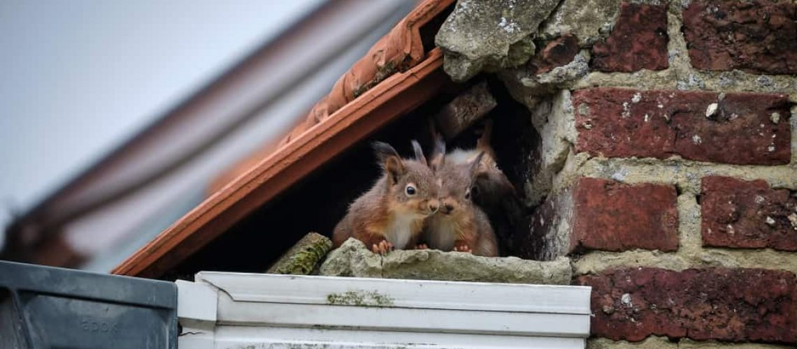 A,Family,Of,Curious,Squirrels,Made,Its,Nest,In,A