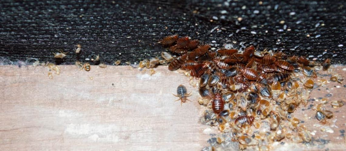 Cimex,Lectularius,Or,Bedbugs,Infest,A,Wooden,Bed,Frame,In