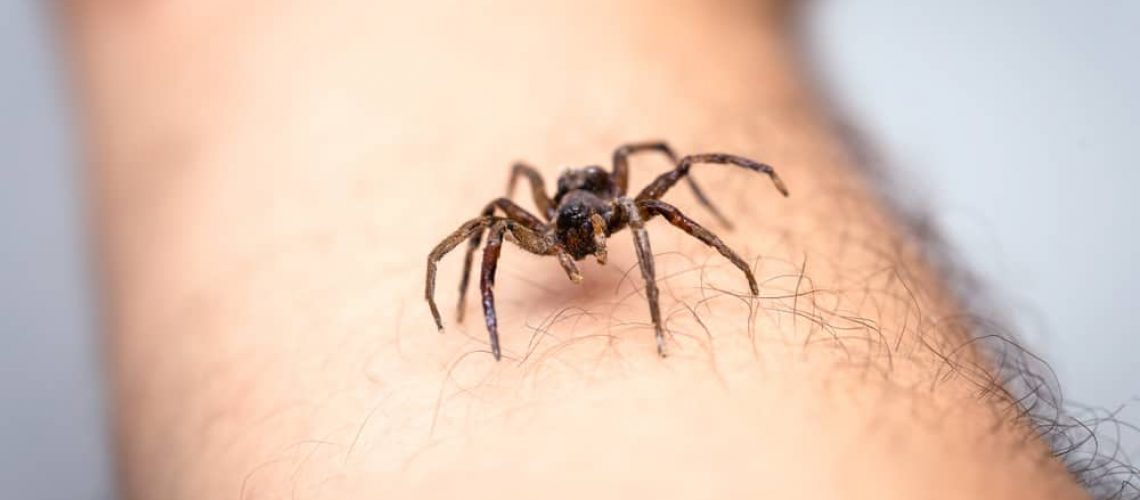 Brown,Spider,,Poisonous,Arachnid,Walking,On,The,Furniture,Of,A