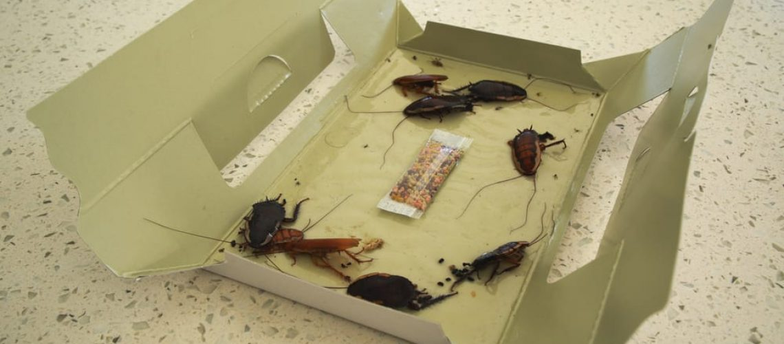 Cardboard,Cockroach,Trap,With,Captured,Dead,Cockroaches