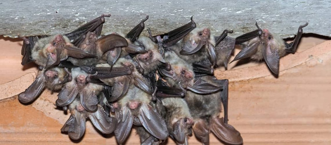Group,,,Colony,,Nursey,Of,Brown,Long-eared,Bat,(plecotus,Auritus)