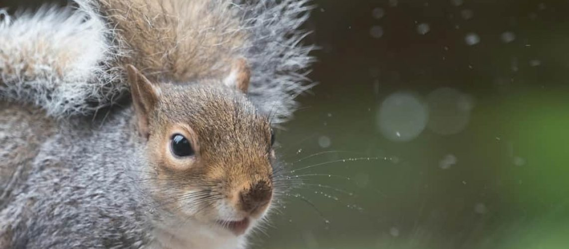 A,Grey,Squirrel,(sciurus,Carolinensis),Looks,At,Camera,In,Close