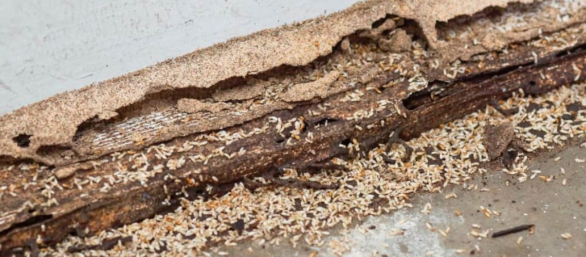 Termites,Destroying,Wood,From,The,Ground,/,Termite,Problem,In