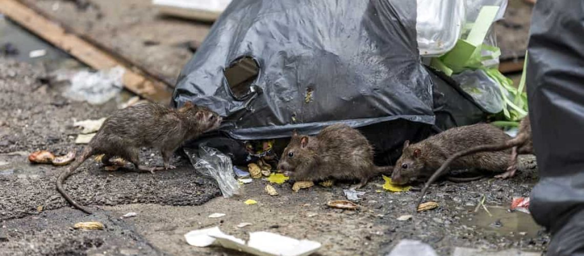 Three,Dirty,Mice,Eat,Debris,Next,To,Each,Other.,Rubbish