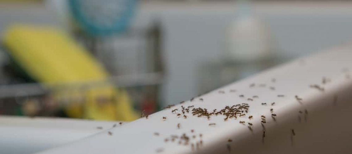 Ants,Crawl,On,Kitchen,Sink.,Common,Household,Pest,Problem.,Ants