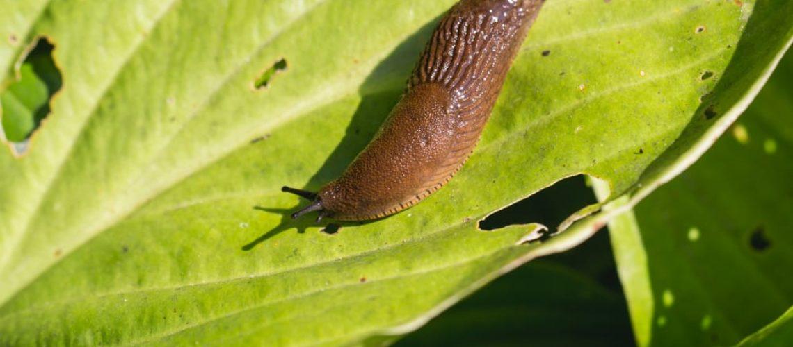Large,Red,Slug,(,Arion,Rufus,),Attack,Leaf,Of