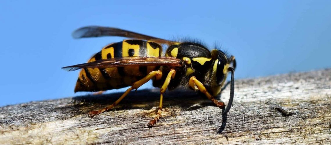 wasp-yellow jacket-removal-jackson-ms