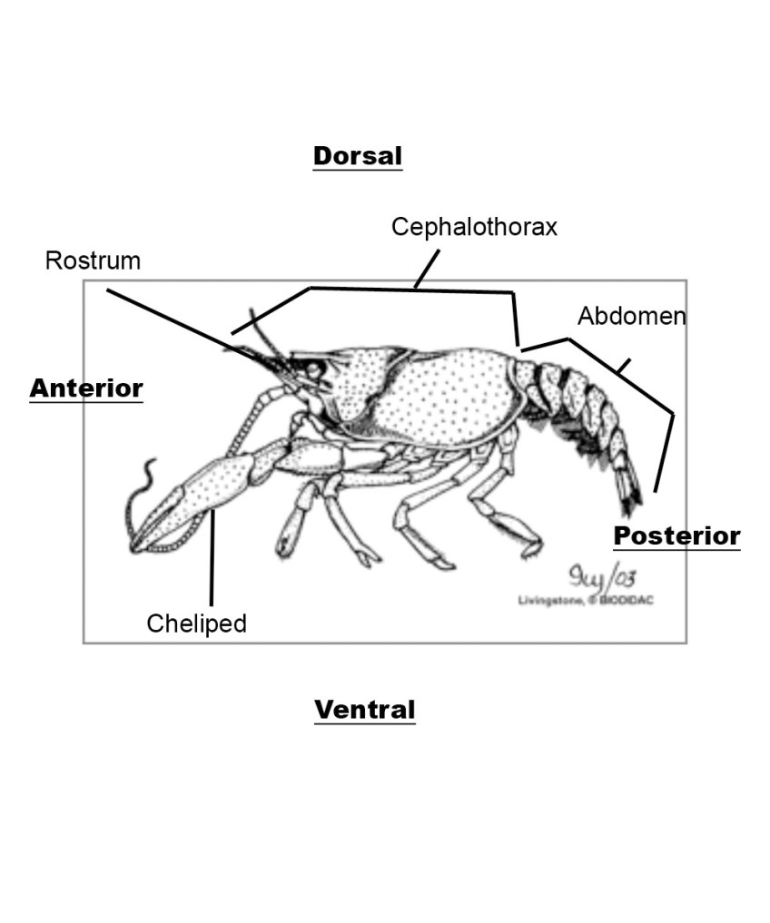 hight resolution of crayfish diagram labelled