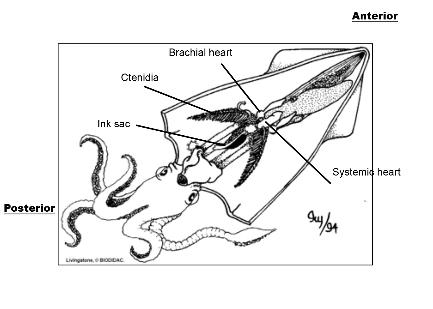 squid internal anatomy diagram lighting diagrams for portrait photography interior synergy middle school science 08 09