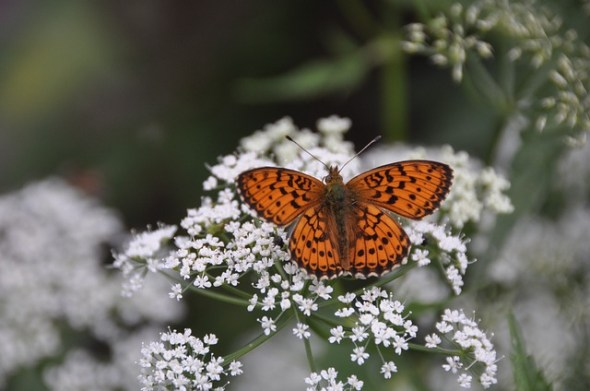 yarrow and butterfly