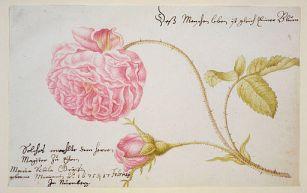 from Neues Blumenbuch, 1675