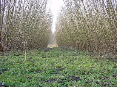 Coppiced willow in northern France @ lamiot with CCLicense