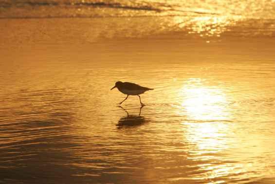 shorebird-in-sunrise-walking-on-coast