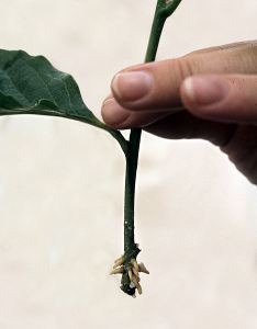 468px-adventitious_roots_of_magnolia_cutting.jpg