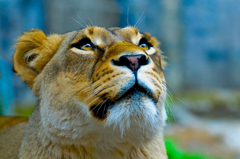 1024px-Lioness_looking_up.jpg