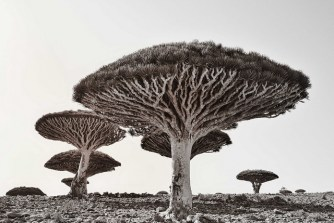Dragon's Blood Trees, Socotra Island