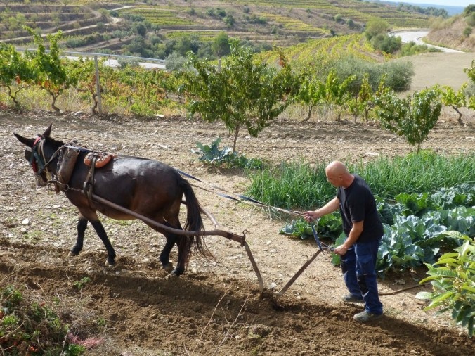 plow_mule_labrador_work_break_rustic_traditional-790083