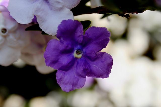 brunfelsia-192132_640