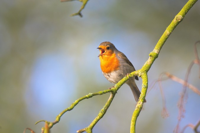 small_bird_sing_robin_bird_close_garden_bird_small_sings-1392906.jpeg
