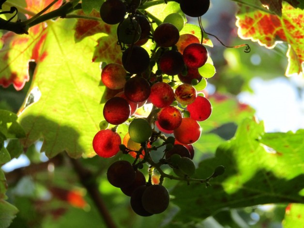 grapes_vineyard_grape_leaves_harvest_wine_grapevine_red_grapes_purple-797694