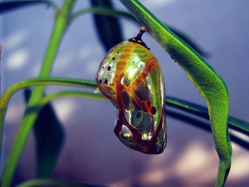 Chrysalis(Pupa)_of_a_Common_Crow_Butterfly_(Euploea_core)
