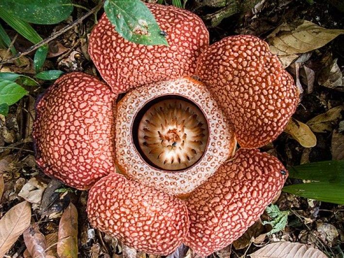 Rafflesia_keithii_(13890819315)