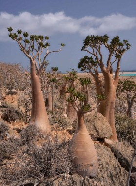 Bottle Trees, Socotra Island