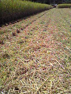 氷結の稲刈り