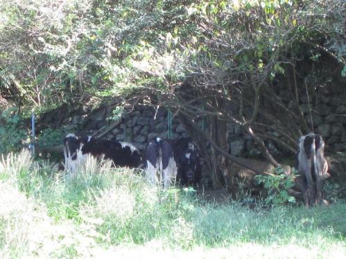 岡崎牧場 牛さんたち