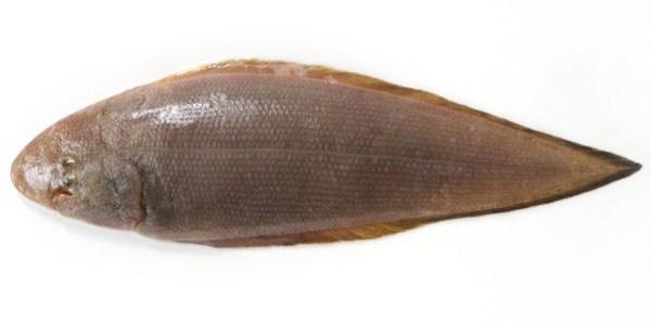 シタヒラメ(舌平目)の写真