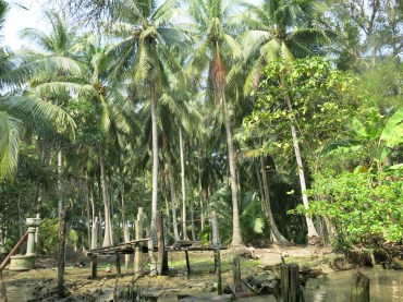 Lots of coconut trees grown along the way to the market