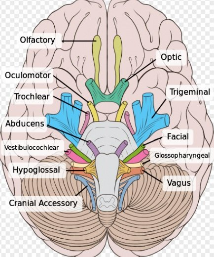 brain showing 10 cranial nerves