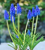 Og ikke minst var de blå perlehyacintene til stor inspirasjon
