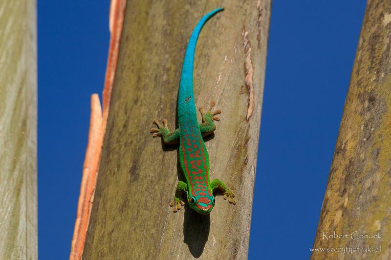Felsuma niebieskoogonowa na Mauritiusie