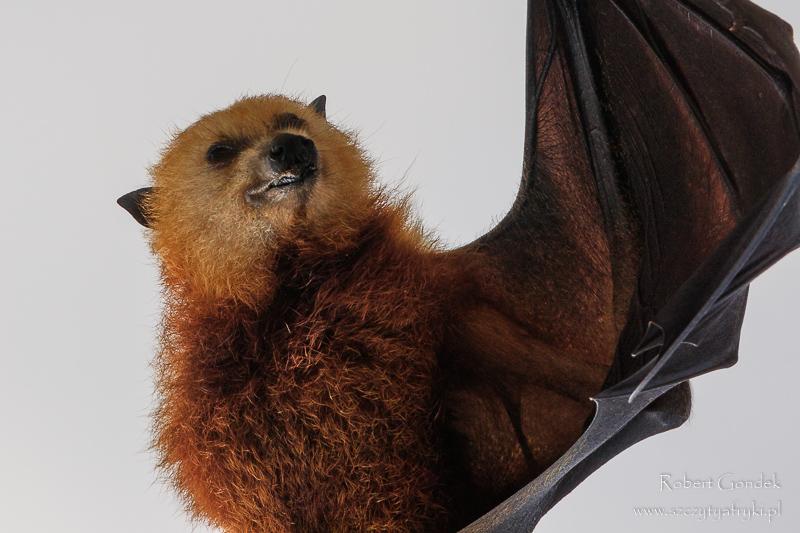 Nietoperz z Mauritiusa - Rudawka mauritiuska
