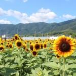 今が見頃、京都大原野に咲くのどかなひまわり畑