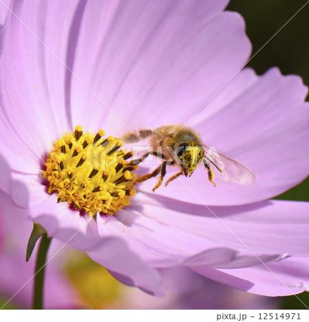 Honey beeの寫真素材 [12514971] - PIXTA