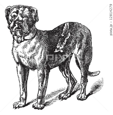 giant english mastiff cock